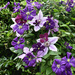Several Clematis by tonygig