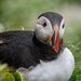 More Puffin by elisasaeter