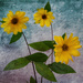 Sunflowers by cdcook48