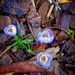 Tiny, late winter, crocus by maggiemae