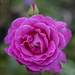 Pink Rose by pcoulson