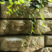 Ivy on a wall by mittens