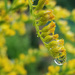 Refracted Goldenrod by ljmanning