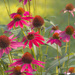 Bed of Cone Flowers by skipt07