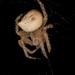 Jewel Spider by teriyakih