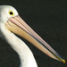 Pelican by onewing