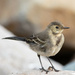 Pied Wagtail by lifeat60degrees