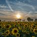 Sun Sunflowers and Sundogs!  by rjb71