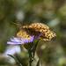 High Desert Butterfly