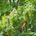 Hornbeams and squirrels