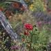 Flower borders at Avebury by helenhall