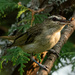 Red-eyed Vireo by radiogirl