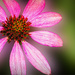 Another Cone Flower Shot
