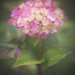 hydrangea through fogged up lens by jackies365