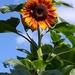 Yaw Free Image -  Yellow Sunflower by 30pics4jackiesdiamond