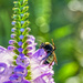 Bumblebee on Obedient Plant by k9photo