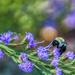 Blue Star Bee by kvphoto