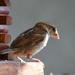 Sparrow Close-Up