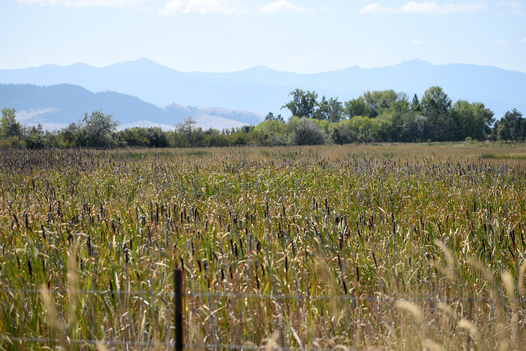 Field Of Cattails by bjywamer