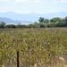 Field Of Cattails