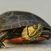 Painted Turtle by kareenking