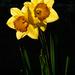 Back lit daffodils by maureenpp