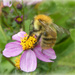 Fluffy Bee by wendyfrost