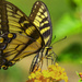 Battered Swallowtail by k9photo
