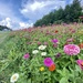 Zinnias Along The Highway by calm