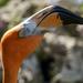 Flamingo Head by kvphoto