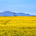 I went to see Canola by ludwigsdiana