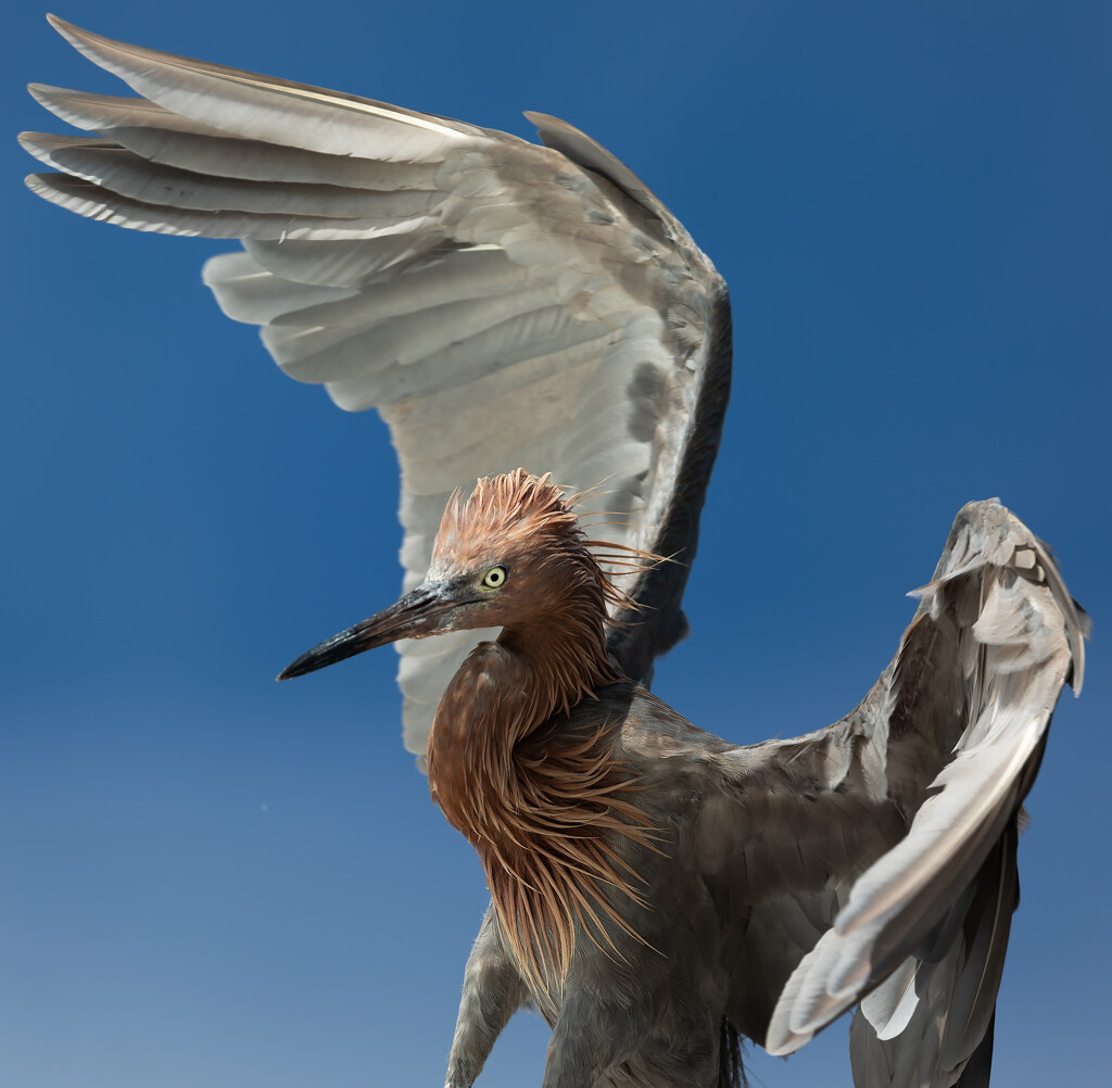 Reddish Egret! (Not a heron!) by shesnapped