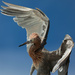 Reddish Egret! (Not a heron!)
