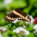 Flight of a Swallowtail by photographycrazy