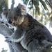 Phoenix breaking free by koalagardens