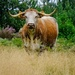 Long Horn Cow by 365nick