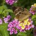Common Buckeye  by kvphoto