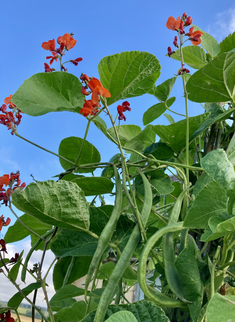 Anyone for runner beans ? by sianharrison