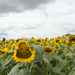 Smiley face sunflower by busylady