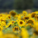 Field of Gold  by phil_sandford