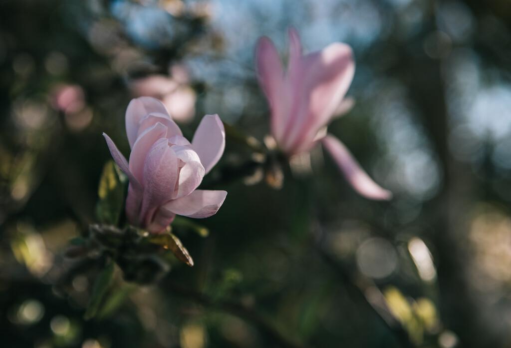 Magnolia sisters by brigette