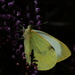 Cabbage Butterfly on Heather