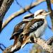 Kookaburras  by ubobohobo