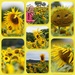 Ketton Sunflowers by phil_sandford