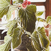 Leggy Wax Begonia by mzzhope