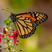 Monarch Butterfly Sipping the Nectar! by rickster549