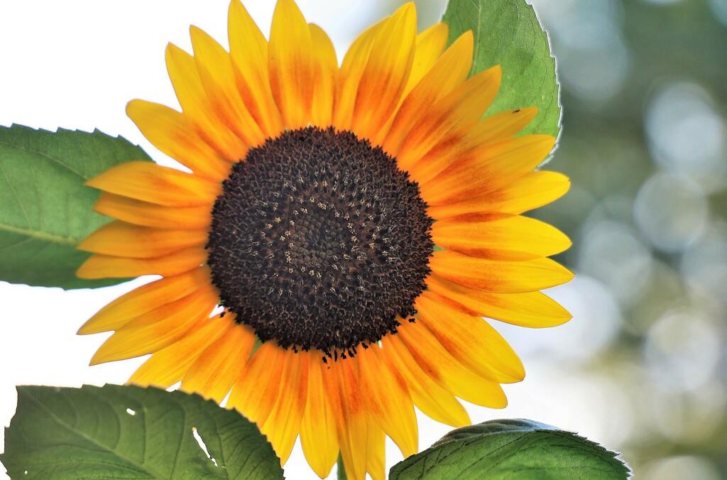 Late Summer Sunflower by lynnz