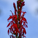 Cardinal Flower SGG