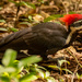 Pileated Woodpecker! by rickster549