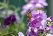 1st Sep 2021 - Just a Garden Spider hanging out